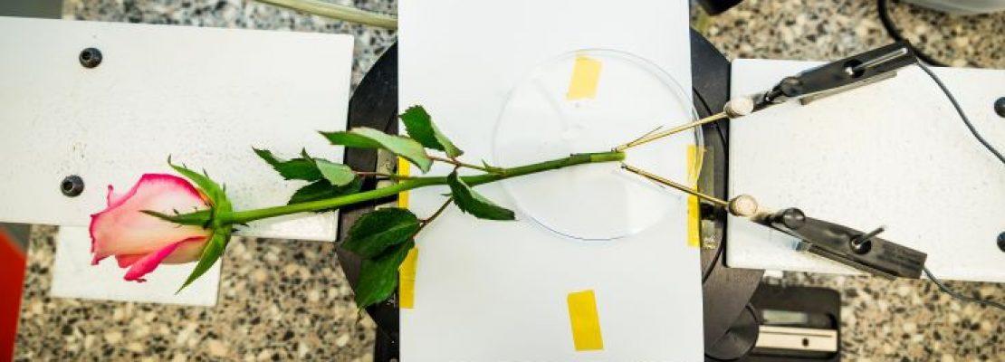 Ελληνίδα δημιούργησε ρεύμα από τριαντάφυλλο