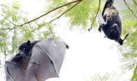 Ανακαλύφθηκαν κορωνοϊοί, συγγενικοί του SARS-CoV-2, σε νυχτερίδες