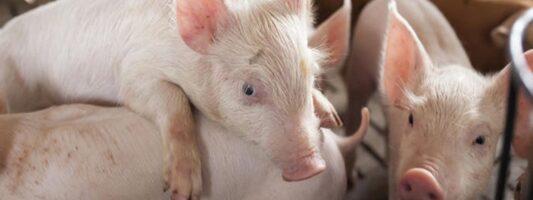 Ερευνητές έμαθαν σε γουρούνια να παίζουν βιντεοπαιγνίδια με τη μουσούδα τους