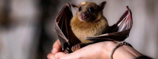 Επιστήμονες αναζητούν την προέλευση του κορωνοϊού σε νυχτερίδες της Καμπότζης